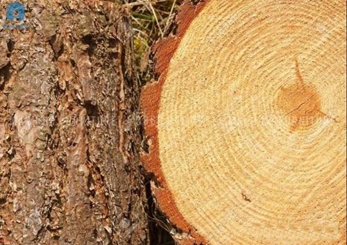 gỗ thông dầu