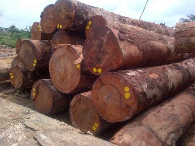 gỗ lim có độc không